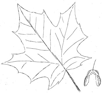 Sugar maple Drawing