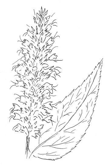 Blue Giant Hyssop Drawing