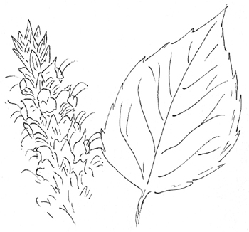 Yellow Giant Hyssop Drawing