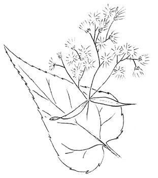 White Snakeroot Drawing