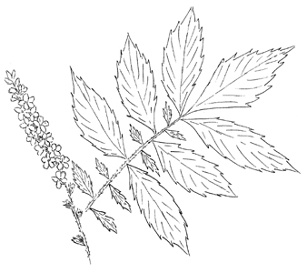 Woodland Agrimony Drawing