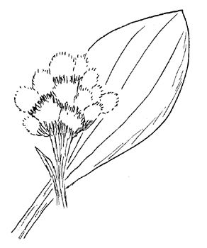 Plantain-Leaved Pussytoes Drawing