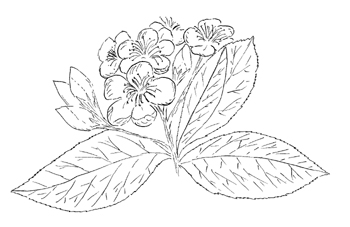 Red Chokeberry Drawing
