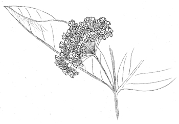 Common Milkweed Drawing