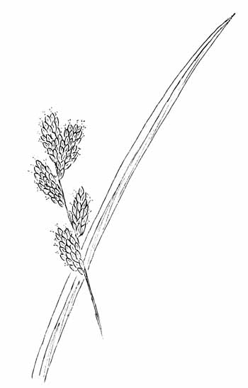 Bicknell's Sedge  Drawing
