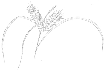 Shallow Sedge Drawing