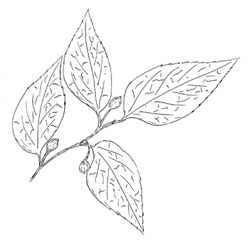 American Hackberry Drawing