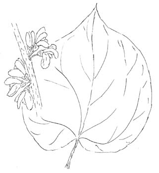 Eastern Redbud Drawing