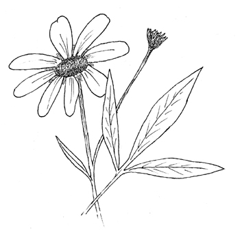 Tall Coreopsis Drawing