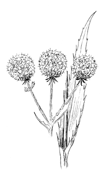 Rattlesnake Master Drawing