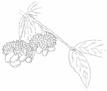 Strawberry Bush Drawing