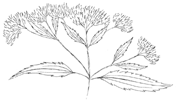 Late Flowering Boneset Drawing
