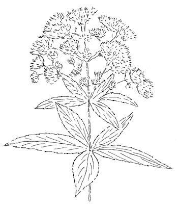 Sweet Joe Pye Weed Drawing