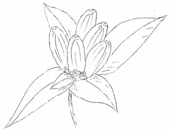 Closed Gentian Drawing