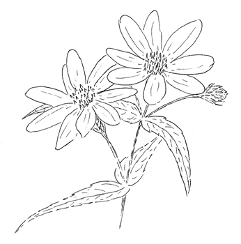 Woodland Sunflower Drawing