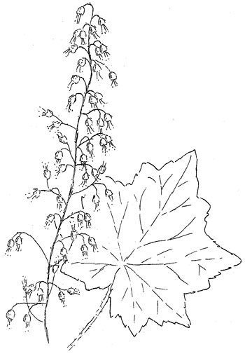 Hairy Alumroot Drawing