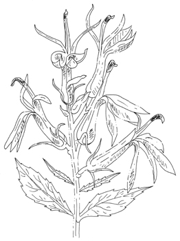 Cardinal Flower Drawing