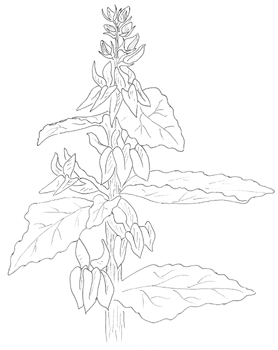 Great Blue Lobelia Drawing