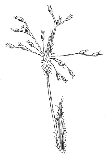 Hairy WoodrushDrawing