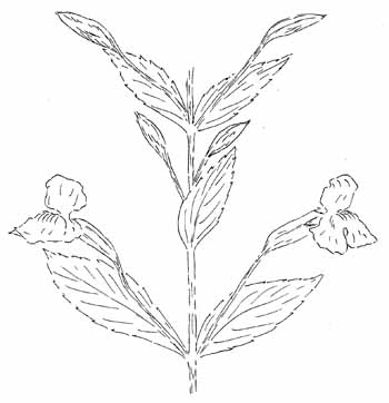 Allegheny Monkey Flower Drawing