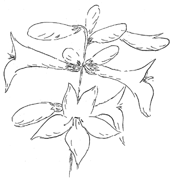 White Wand Beardtongue Drawing