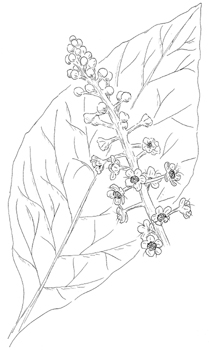 American Pokeweed Drawing