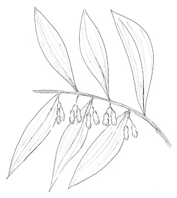 Smooth Solomon's-Seal Drawing
