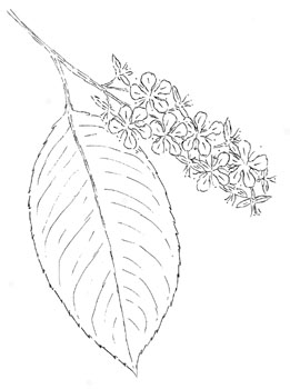 Wild Black Cherry Drawing