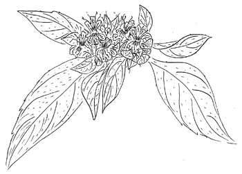 Southern Mountain Mint Drawing