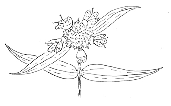 Whorled Mountainmint Drawing