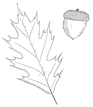 Northern Red Oak Drawing