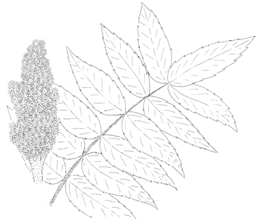Staghorn Sumac Drawing