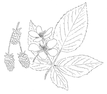 Allegheny Blackberry Drawing