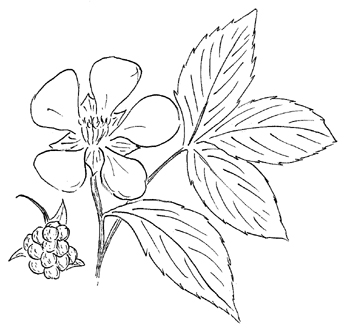 Northern Dewberry Drawing