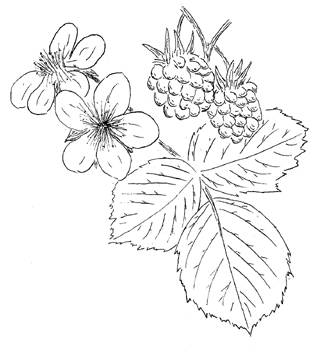 American Red Raspberry Drawing