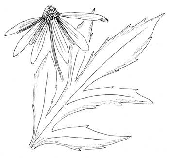 Tall Coneflower Drawing