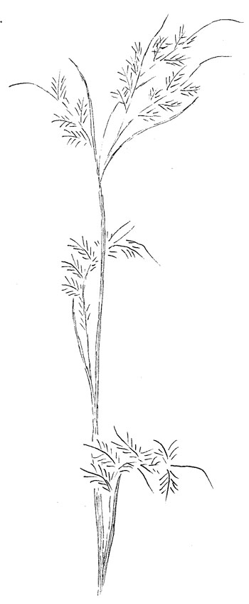 Little Bluestem Grass Drawing