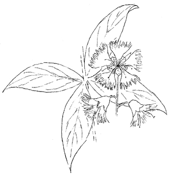 Starry Campion Drawing