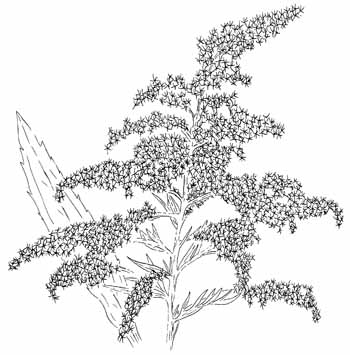Canada Goldenrod Drawing