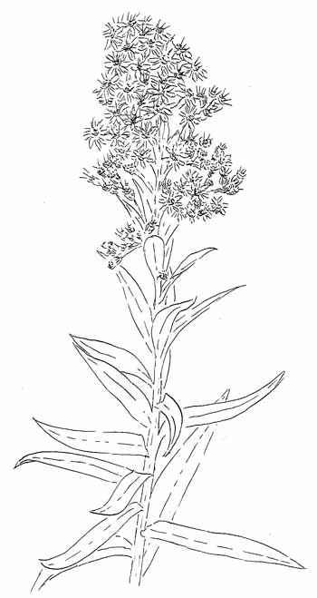 Seaside Goldenrod Drawing