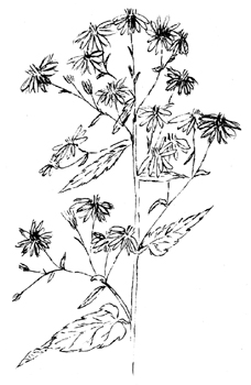 Heart-leaved Aster Drawing