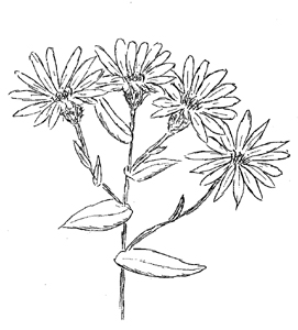 Smooth Blue Aster Drawing