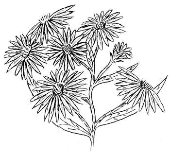New York Aster Drawing