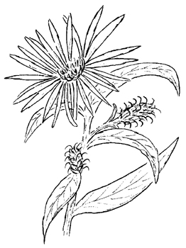 Purple Stemmed Aster Drawing