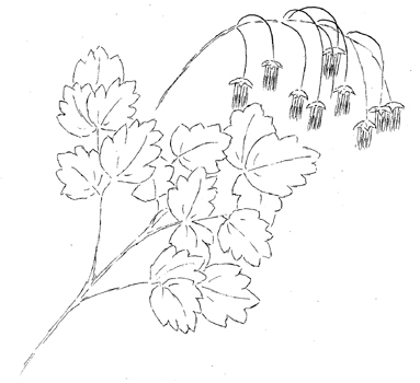 Quicksilver Meadow Rue Drawing