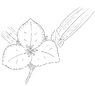 Prairie Spiderwort Drawing