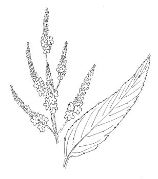 Blue Vervain Drawing