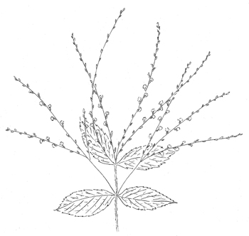 White Vervain Drawing