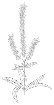 Culver's Root Drawing