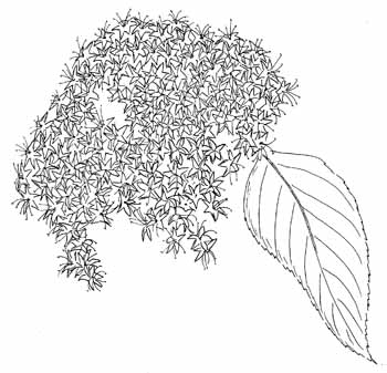 Nannyberry Viburnum Drawing